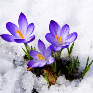 Crocuses Covered In Snow